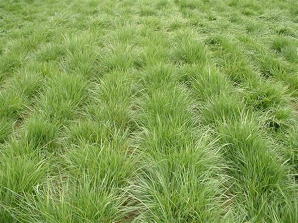 chewings-fescue-1_600