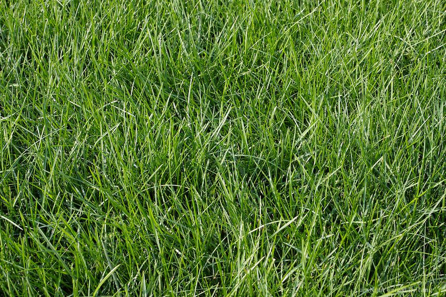Kentucky Bluegrass   820346